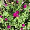 4-157   愛すべき花たち〜千日紅が綺麗です!!〜
