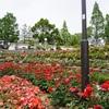 穴場な公園で薔薇を楽しむ 荒牧バラ公園