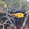 ろう梅と梅のつぼみと張り付いたビオラ
