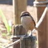 石神井公園の野鳥 マミチャジナイ・アオゲラ他 2021年1月2日