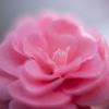 大輪のバラよりも大きいトウツバキ