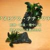 アヌビアスナナ・プチ流木や石への活着方法、増やし方や育て方紹介