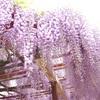 【パワースポット】北方博物館へ藤の花を見に行ってきました
