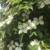 """""""白い葉っぱみたいな花""""で検索と花鳥風月"""