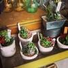 cotyledon **多肉植物