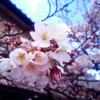 【写真】丁度見頃な感じの、国立の桜を見てきました。
