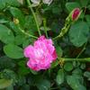 ソフィーズ・パーペチュアルがやっと咲いてきたのですが…