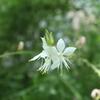 毎年たくさん咲く、白蝶草はガウラ