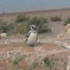 【アルゼンチン】世界遺産バルデス半島でクジラやペンギンが見られて大満足!
