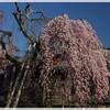 桜だより~奈良公園(4月3日)