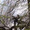 4月30日(火)観桜例会