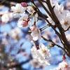 桜満開の公園に家族で行きました😊
