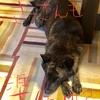 甲斐犬サン、ドッグショーの前日祭の巻〜イェイL('ω')┘三└('ω')」イェイ❗️