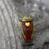 エサキモンキツノカメムシ - キレイなハートをもつカメムシ | 虫紹介