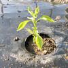 パドロン(ペッパー)の植え付け