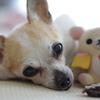 痛いの?気持ち悪いの?手探りの毎日の愛犬介護。お話ができたらいいのにねと思うばかりです。