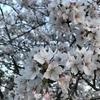 近場で桜の満開🌸を楽しみました(私だけ)