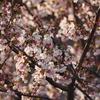 中庭の桜は、満開まじかです!
