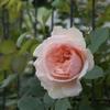 メサージュドゥヨコハマ他フェンスのバラ