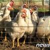 韓国「鳥インフルエンザ(AI)50日間で3054万羽殺処分、産卵鶏32%消える」