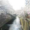 公園レビュー 赤ちゃん連れで目黒川の桜と、妊娠中の目黒川クリスマスイルミネーション