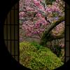 京都・東山 - 雲龍院 迷いの窓と花海棠