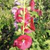 ☆花 立葵 バラ🌹 紫陽花 & 猫 マンチカン