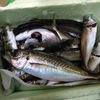 福井のあかぐり海釣り公園でアジを30尾ほど釣りました