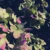 枯れかけた紫陽花の話