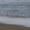 九十九里海岸のハマシギの群れ