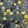 食用菊の開花