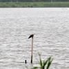 手賀沼に飛来した海鳥コグンカンドリ