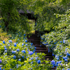 明月院ブルーを楽しんできました。