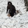 甲斐犬サン、雪と戯れる!アッヒャッヒャ!ヽ(゚∀゚)ノアッヒャッヒャ!