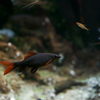 レインボーシャークEpalzeorhynchos frenatus