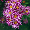 寒空の下 札幌円山の花を撮る(但し実家