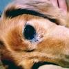 老犬の目やにケアと取り方!目ヤニが酷い場合は病気の可能性も
