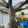 娘たちを落雷から守った 雷神社のビャクシンの老木(横須賀市)