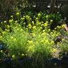 ミズナの花、藤の花