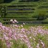 大阪府)とよのコスモスの里近くの里山に咲くコスモス
