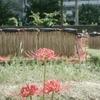 彼岸花と刈穂