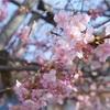 【旅行】河津桜 の 開花状況 まもなく見頃
