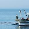 今年(2019年)の大阪湾イカナゴ漁 3日で終了