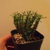 Euphorbia caput-medusae 成長記(2018.10.10)