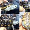 オルナータダイヤモンドガメ 孵化後6ヶ月