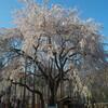 福井市足羽神社の巨大なしだれ桜