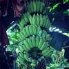 #アンコールワット個人ツアー(525) #アンコールワットのほかに、面白い写真撮影バナナの実