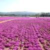 芝桜:花夢の里 - Flower  village-  ③(広島県世羅町)