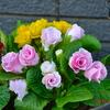 バラ咲きの「ジュリアン🌸」見〜つけた🎵