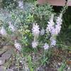 秋の花 ツルボ、シュウメイギクなど